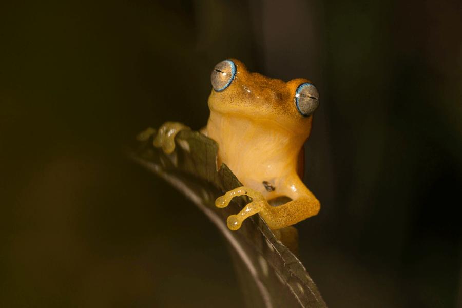 prasenjeet-yadav-blue-eyed-frog