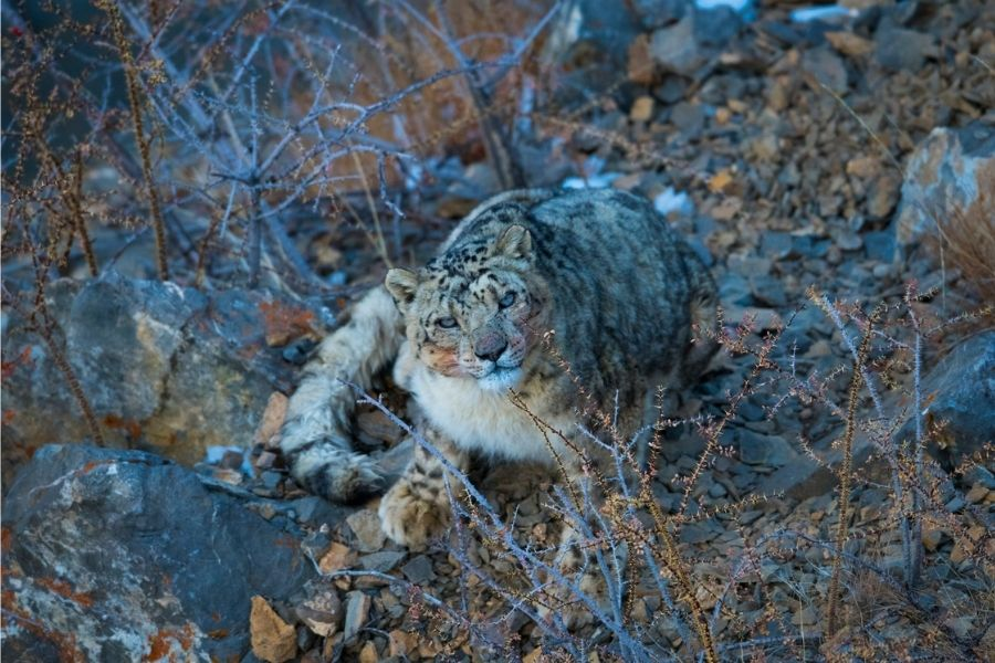 prasenjeet-yadav-snow-leopard