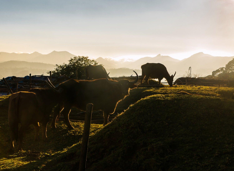toda-sacred-buffaloes-ramya-reddy-nilgiris